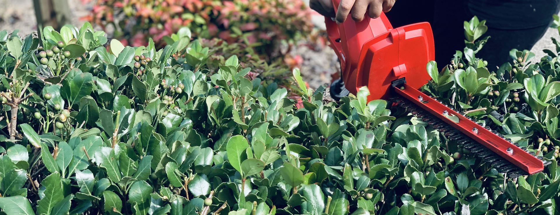 How to Maintain Hedges: PARASITES, PESTS AND OTHER PROBLEMS