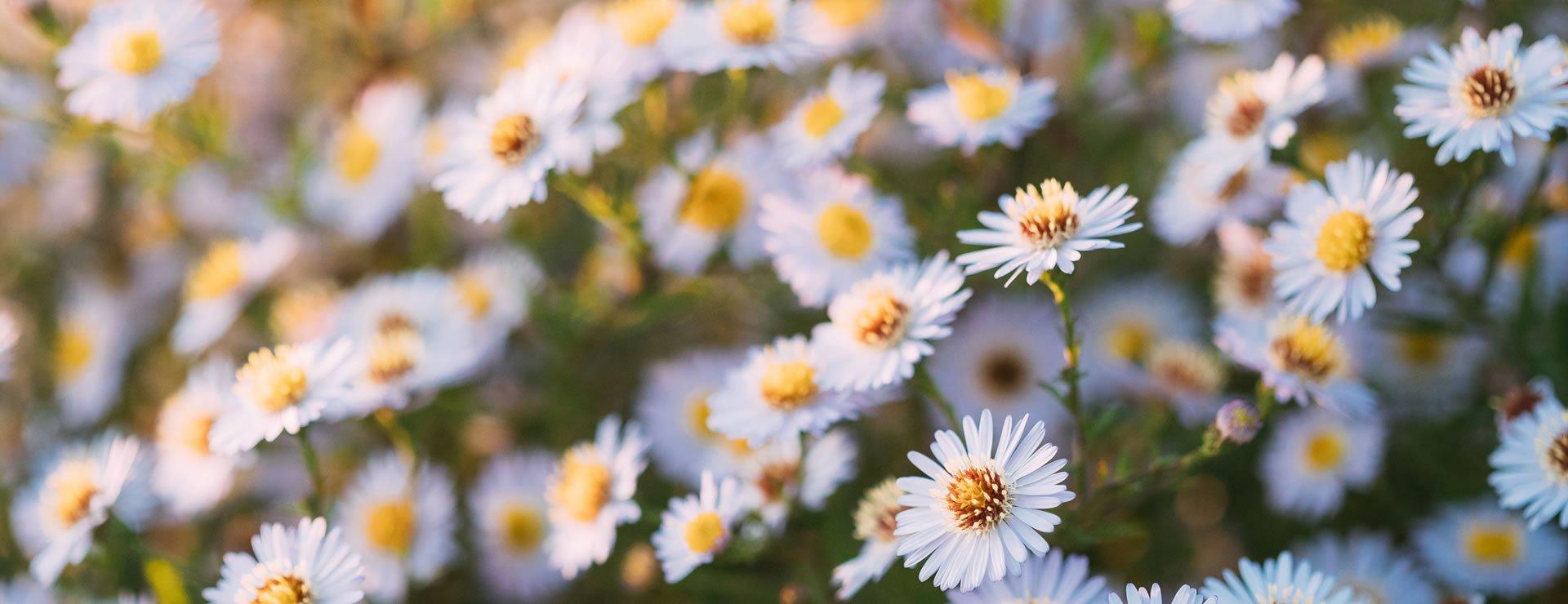 PITTOSPORUM – THE FLOWER-ARRANGER'S FRIEND