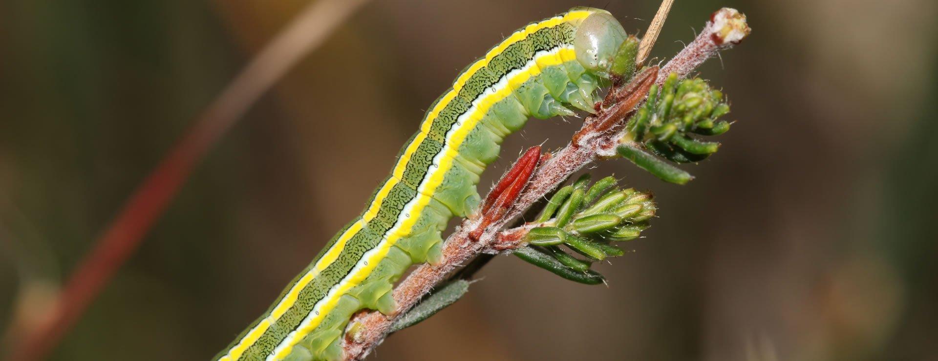 Box Tree Caterpillar (2)