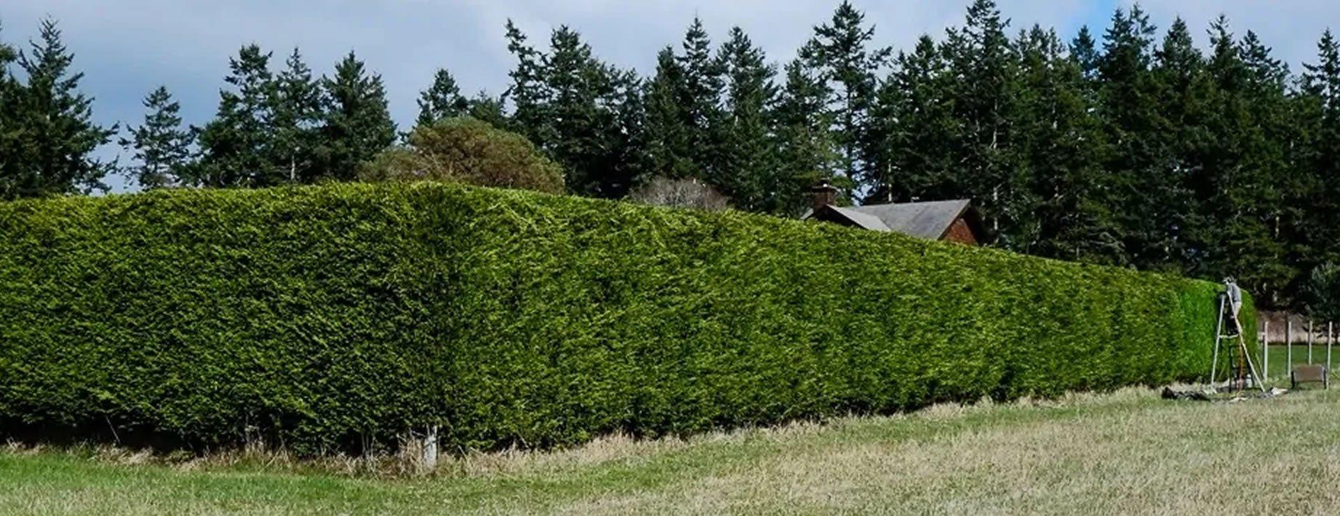 noise reduction hedges hedge xpress. Black Bedroom Furniture Sets. Home Design Ideas