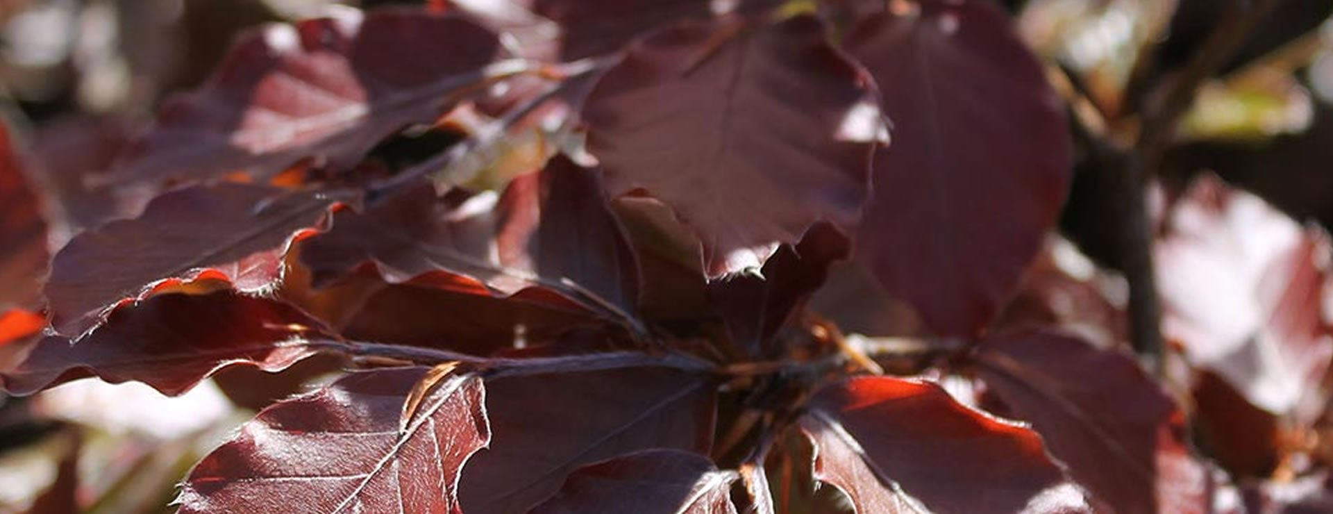 How does Purple Copper Beech Photosynthesise?