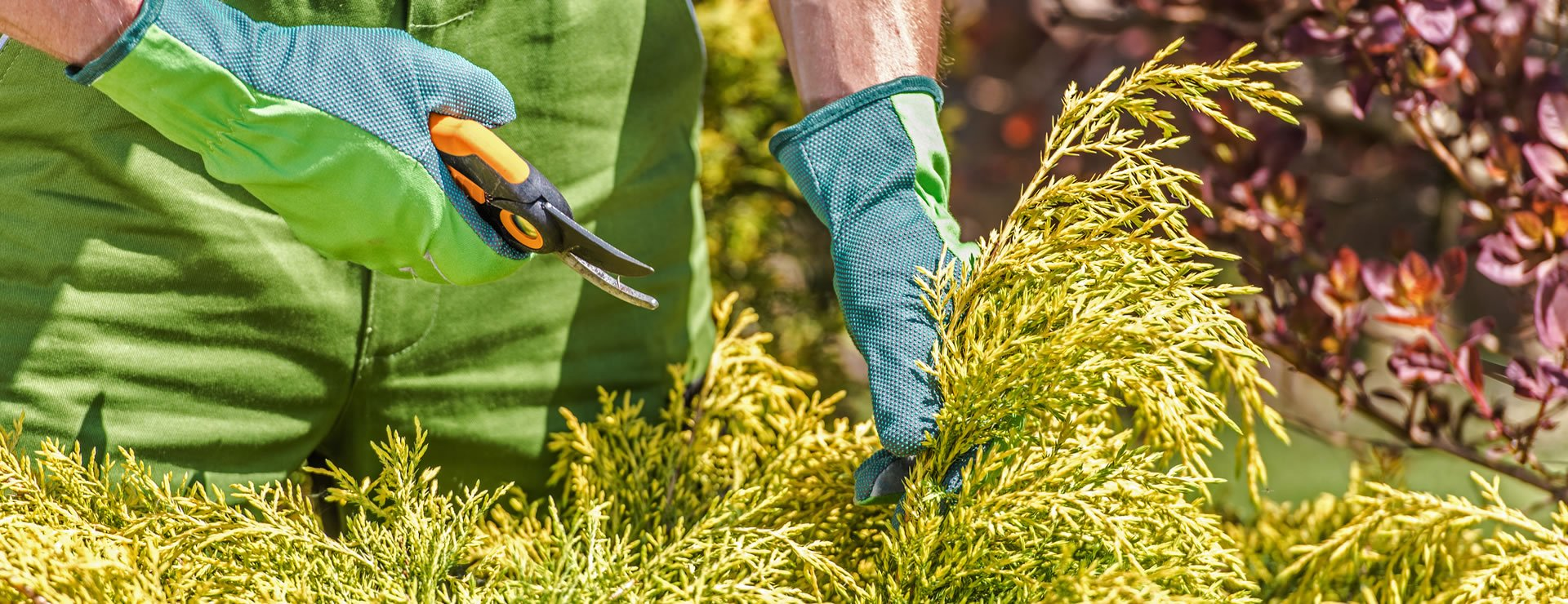 How to Maintain Hedges: DEALING WITH VINE WEEVIL (ii)