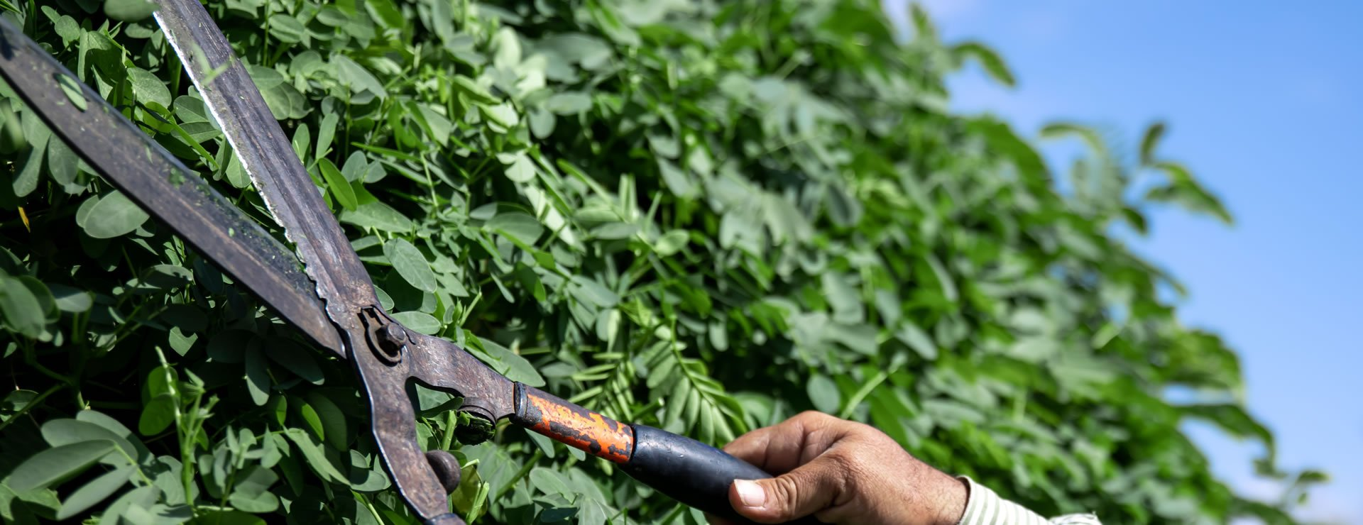 How to Maintain Hedges: WHEN TO CUT OR TRIM HEDGES