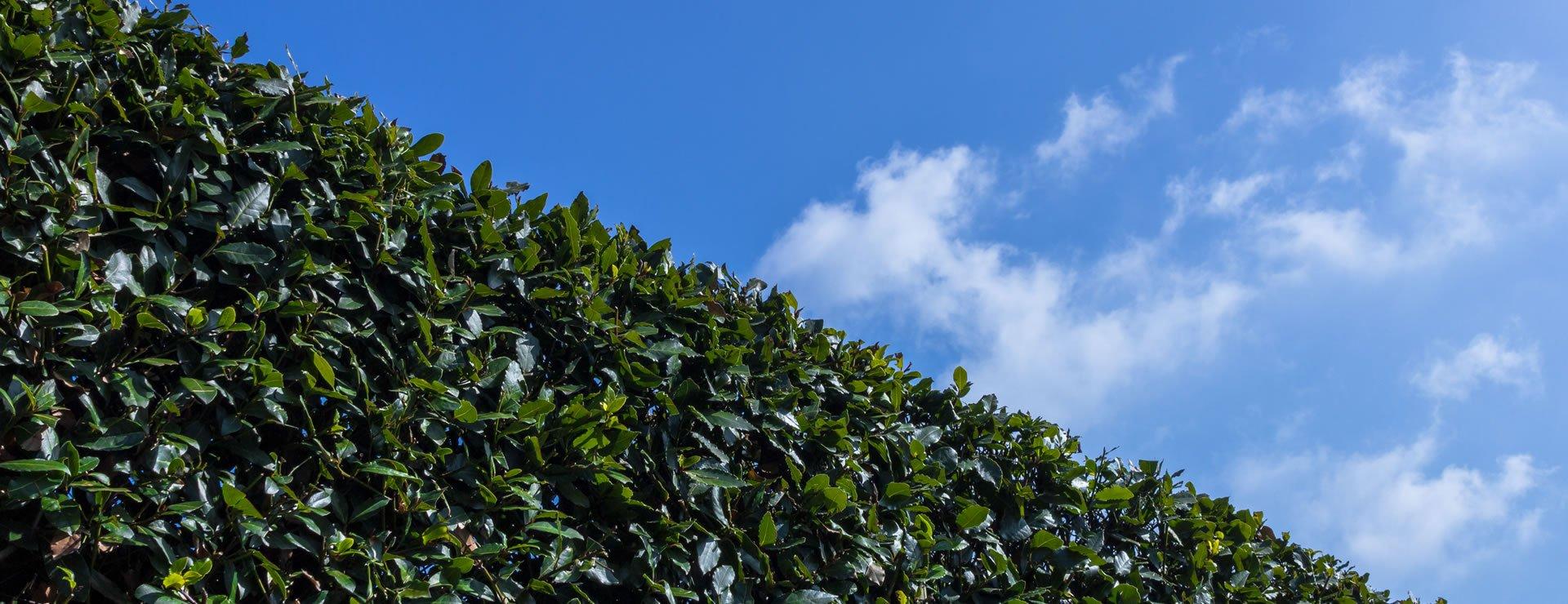 Why Choose Semi-Evergreen Hedging
