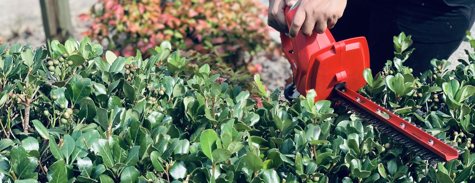 Fast growing hedge varieties for new build homes