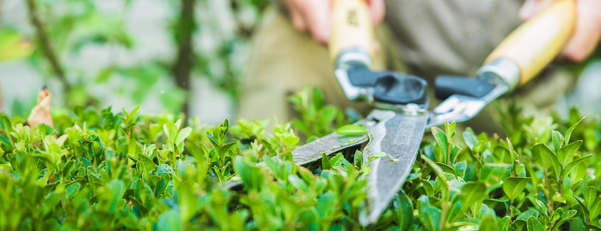 How to plant and care for box hedges