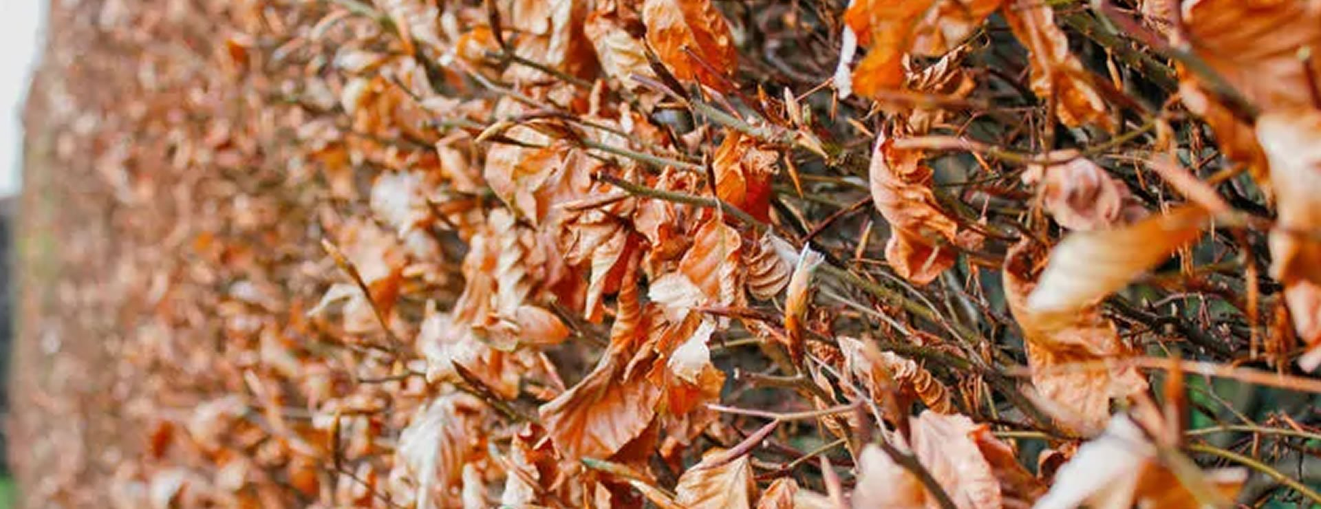 A Guide to Growing Beech Hedges for Winter Colour