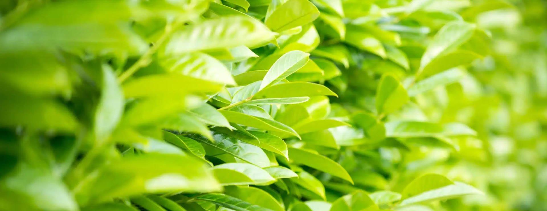 Popular Alternatives to Laurel Evergreen Hedges this Winter