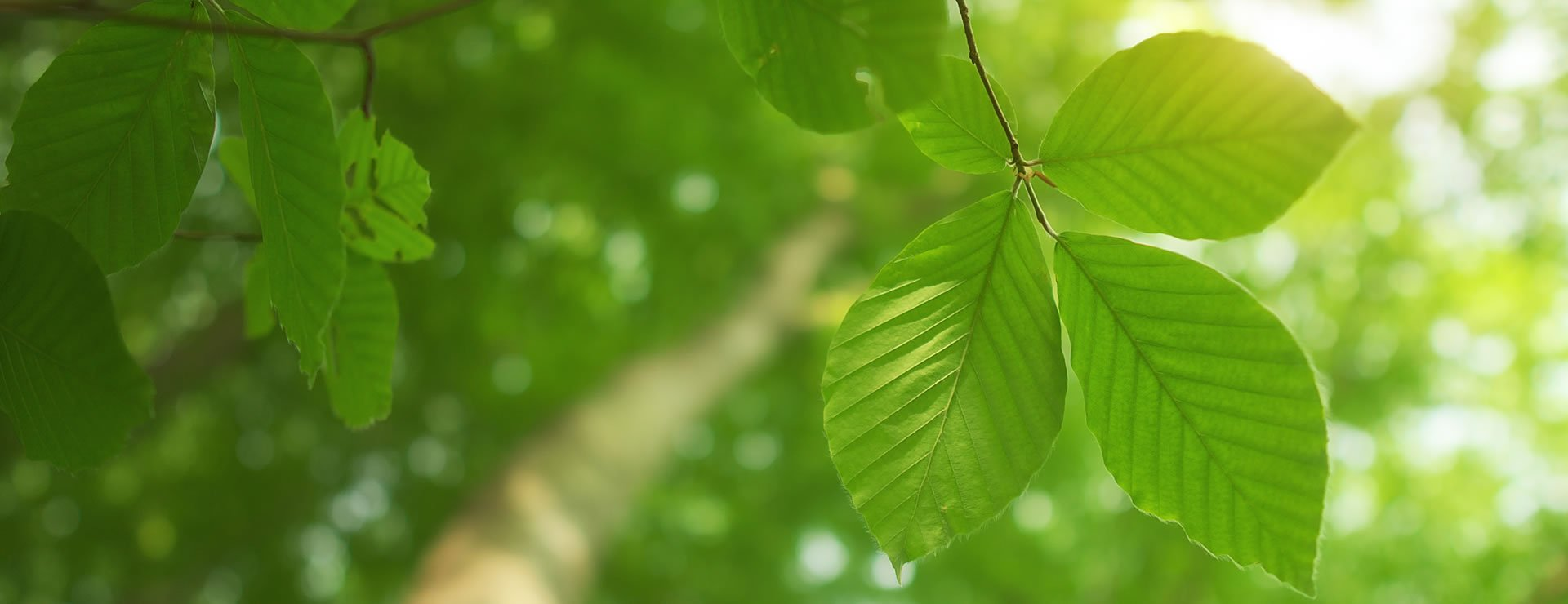 Hornbeam or Beech Hedges – Which is right for you?