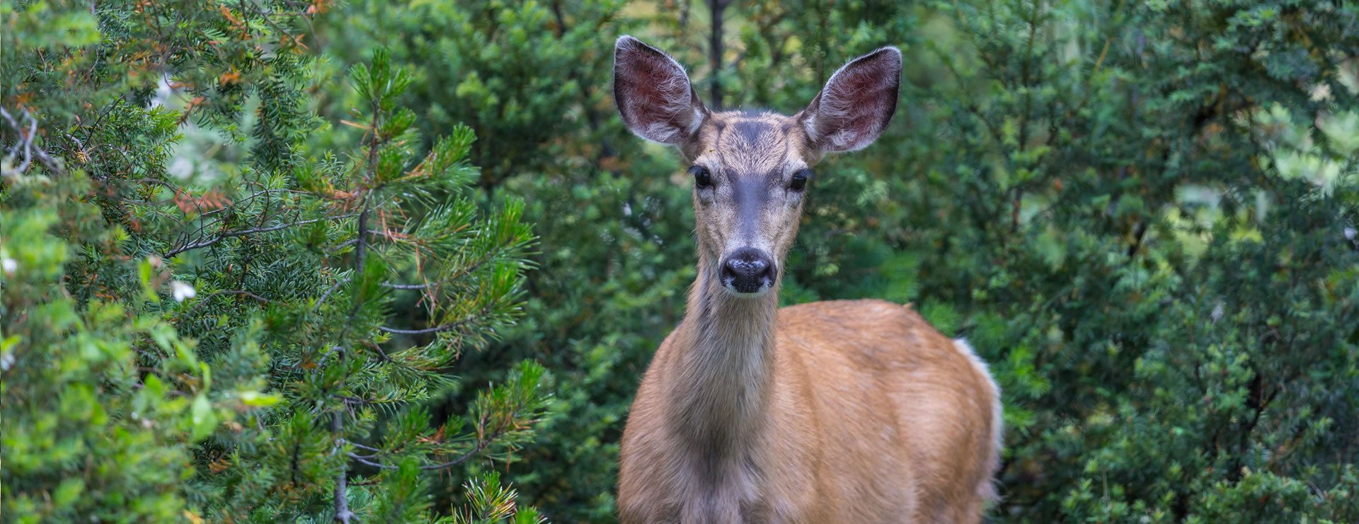 5 Hedge Plants That Deter Deer