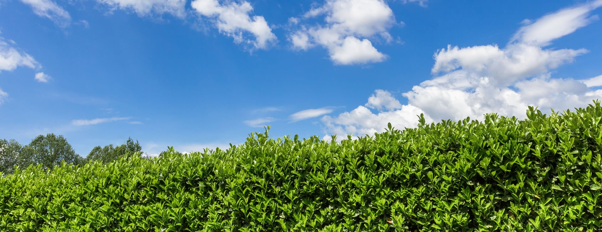 Why Evergreens Are a Great Option for Hedges