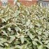 Elaeagnus × Ebbingei 60-90cm