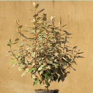 Eleagnus-Ebbingei-60-90cm.jpg