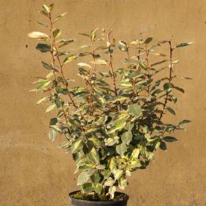 Eleagnus-Limelight-60-90cm.jpg