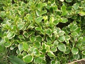 Griselinia-Littoralis-Variegata