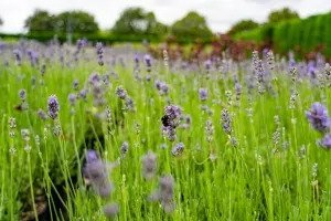 Lavender Dwarf Blue Hedge Xpress