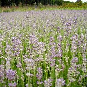 Lavender Twickle Purple, Various Sizes