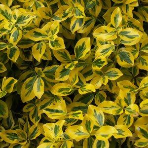 Euonymus Emerald n Gold