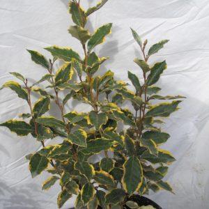 elaeagnus-viveleg-scaled