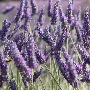 Lavender Sawyers