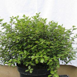 Pittosporum tenuifolium 'Pompom'
